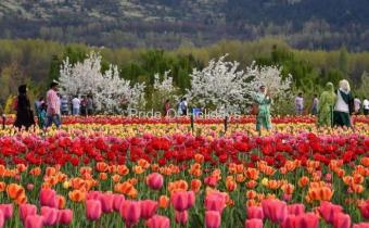 Tulip Garden Tour Package Srinagar